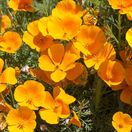 Slncovka kalifornská oranžová - Eschscholzia californica - semená slncovky - semiačka - 0,7 gr