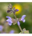 Šalvia železníkovitá - Salvia verbenaca - semená - 50 ks