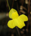 Bublinatka- Utricularia subulata- semiačká- 15 ks