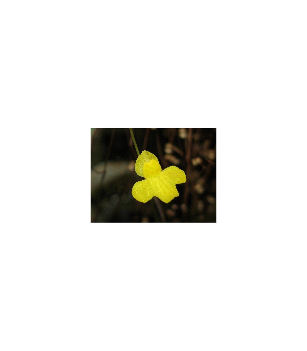 Bublinatka šidlovitá - Utricularia subulata - semená - 15 ks