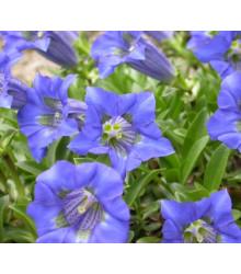 Horec úzkolistý - Gentiana angustifolia - semená horca - semiačka - 8 ks