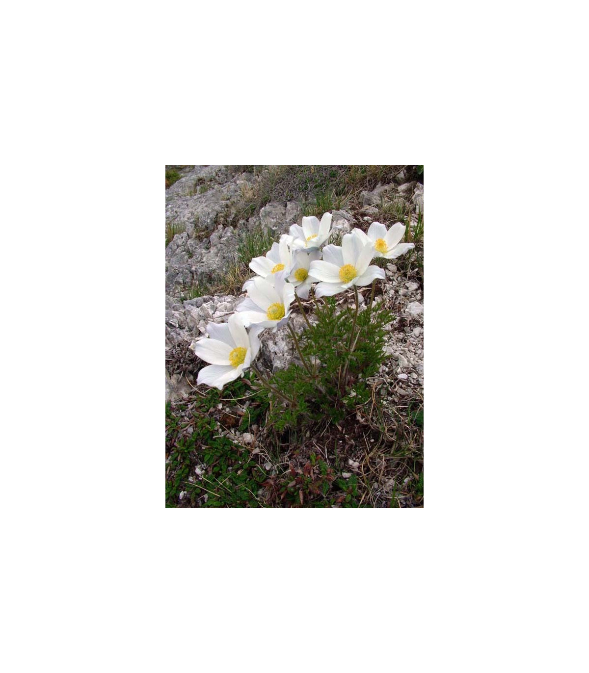 Poniklec alpský - Pulsatilla alpina - semená - 10 ks