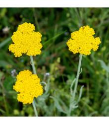 Rebríček túžobníkový Parkers žltý - Achillea filipendulina - semená rebríčka - semiačka - 0,5 gr