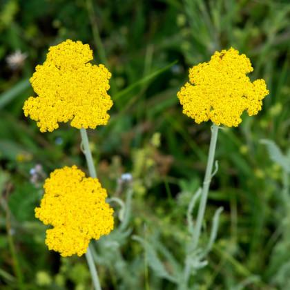 Rebríček túžobníkový Parkers žltý - Achillea filipendulina - semená - 0,5 g