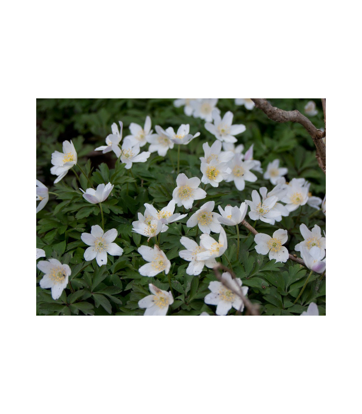 Veternica hájna - Anemone nemorosa - semená - 10 ks