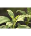 Šalvia biela - Salvia apiana - semená - 10 ks