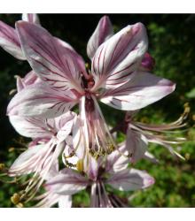 Jasenec biely - Dictamnus albus - semená - 8 ks