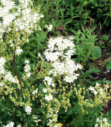 More about Túžobník obyčajný - Filipendula vulgaris - semená - 0,3 g