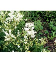 Túžobník obyčajný - Filipendula vulgaris - semená - 0,3 g