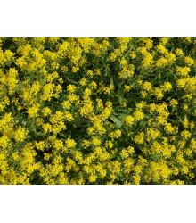 Farbovník obyčajný - Isatis tinctoria - semená farbovníka - 8 ks