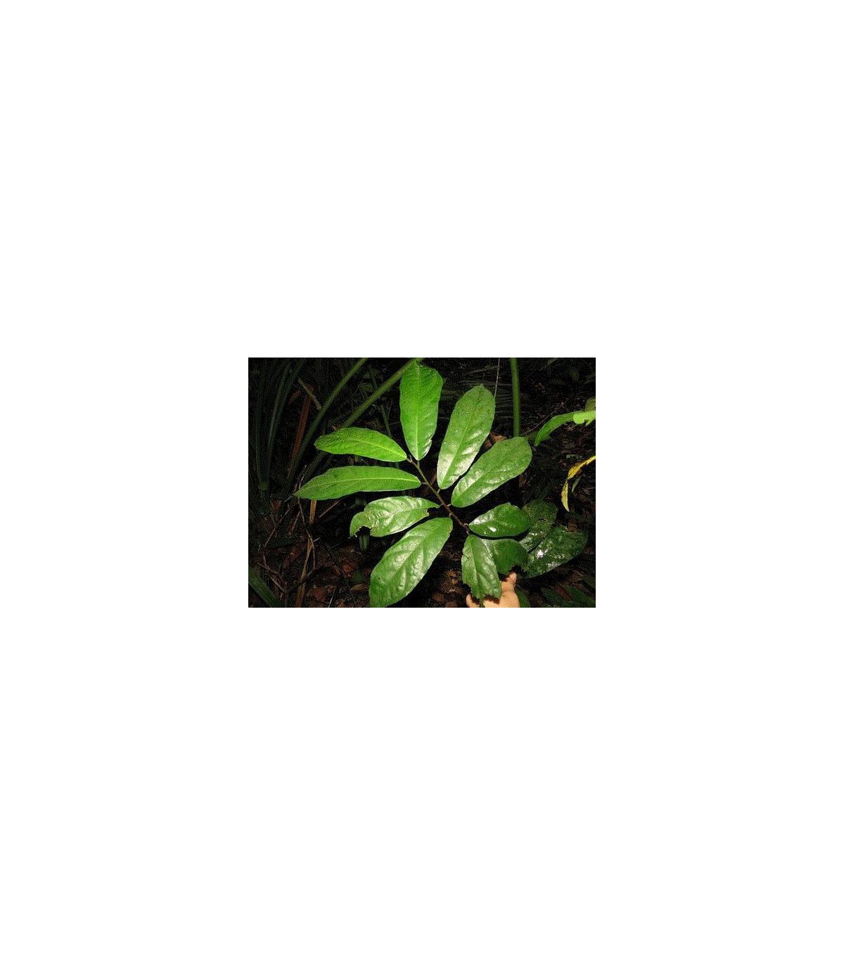 Figovník ribes - Ficus ribes - semená figovníka - semiačka - 5 ks