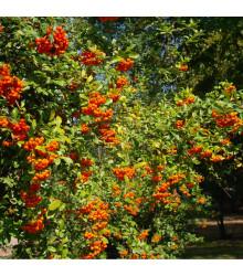 Hlohyňa čínska - Pyracantha fortuneana - semená - 5 ks