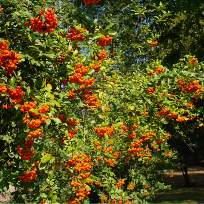 Hlohyňa čínska - Pyracantha fortuneana - semená hlohyne - semiačka - 5 ks