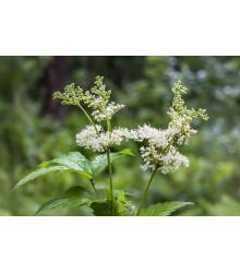 Túžobník brestový - Filipendula ulmaria - semená - 8 ks