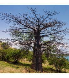 Baobab suarézsky - Adansonia suarezensis - fľaškový strom - bonsaj - semená - 2 ks