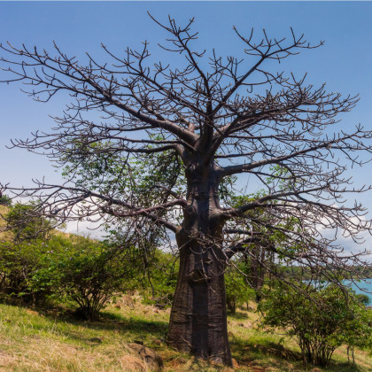 Fľaškovník - Adansonia suarezensis - baobab - semená - semiačka - 2 ks