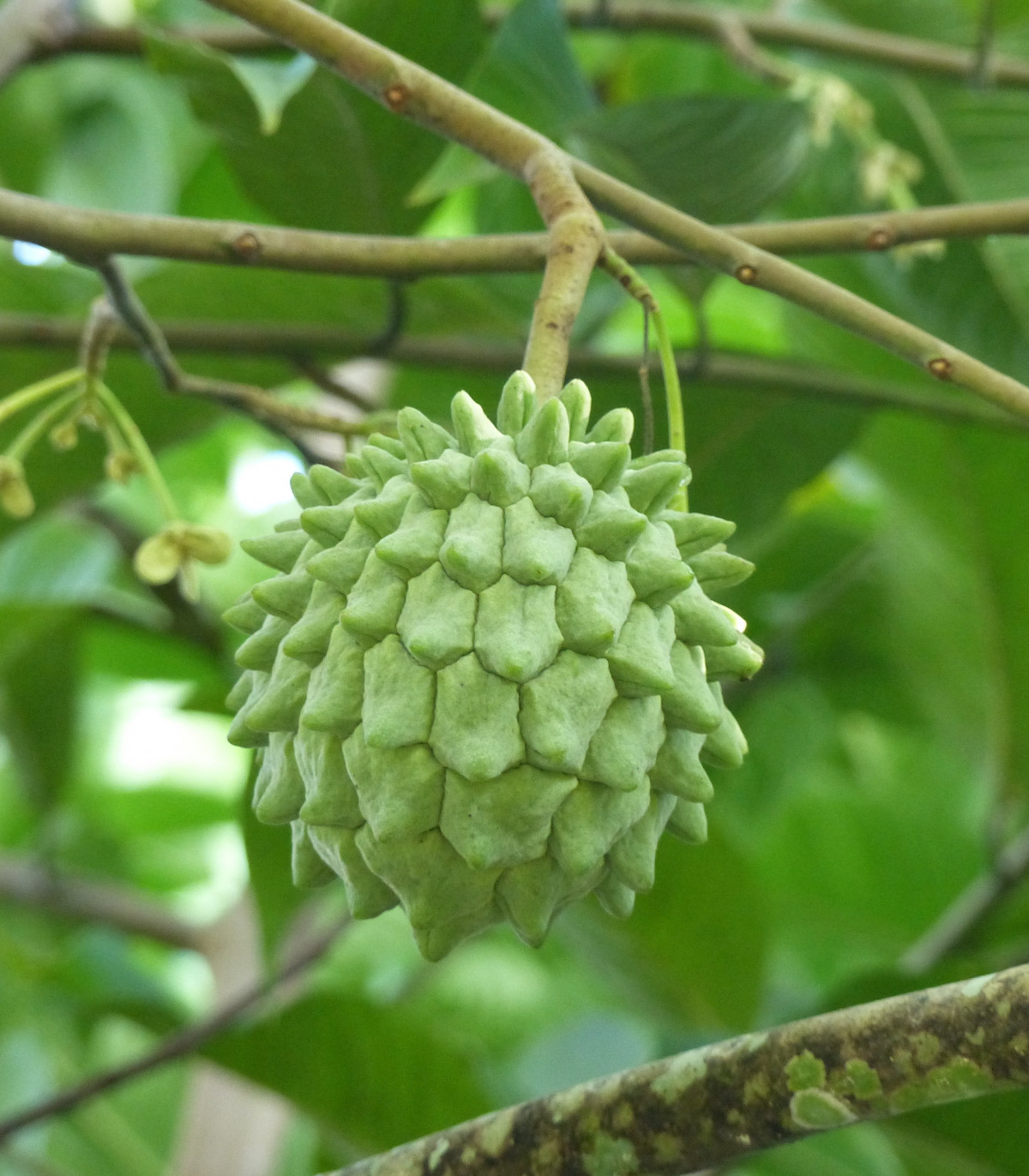 Rollinia deliciosa - semená - semiačka - 3 ks