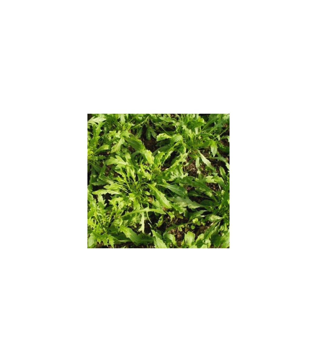 Rukola úzkolistá Tiger - Diplotaxis tenuiflora - semená rukoly - semiačka - 20 ks