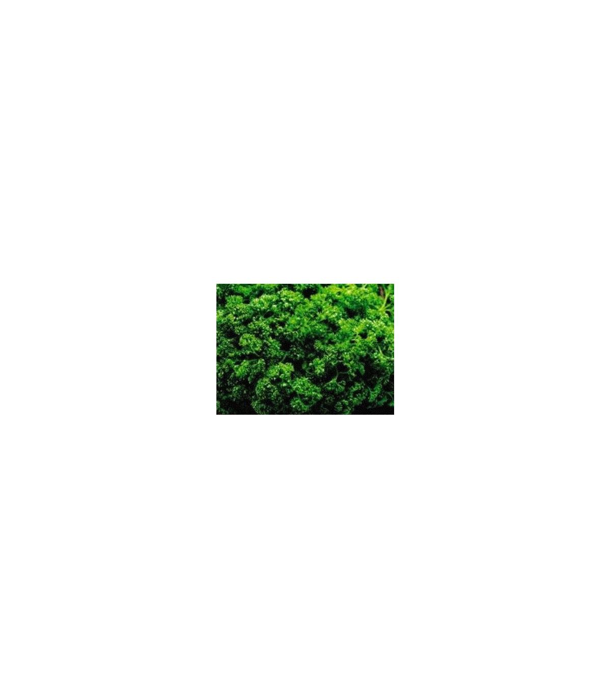 Petržlen Clivi - Petroselinum crispum - semená petržlenu - semiačka - 1 gr