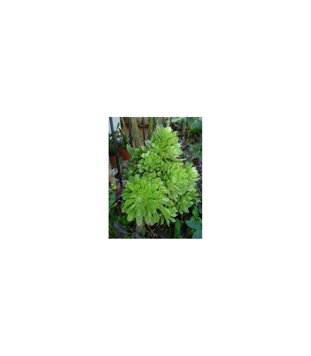 Aeonium- Rúžicovka- semiačká- 5 ks