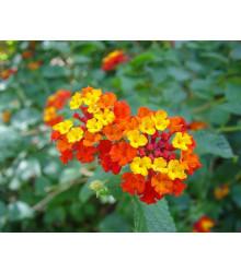 Lantana menlivá - Lantana camara - bonsaj - semená lantany - 10 ks