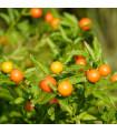Solanum sessiliflorum - predaj semien - 10 Ks