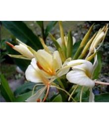 Okrasný zázvor - Hedychium - semená zázvoru - semiačka - 2 ks