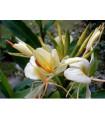 Hedychium- okrasný zázvor- semiačká- 2 ks