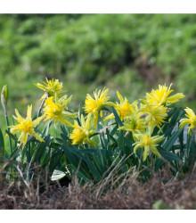 Mininarcis Rip Van Winkle - Narcissus Rip van Winkle - cibuľoviny - 3 ks