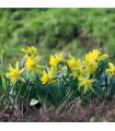 Narcis - Mininarcis Rip van Winkle - predaj cibuľovín - 3 ks