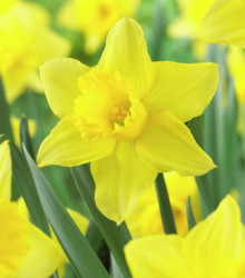 Narcis - Tamara - predaj cibuľovín - 3 ks