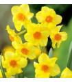 Narcis - Trelawney zlatý - predaj cibuľovín - 3 ks
