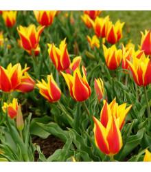 Tulipán Aladdin - predaj cibuľovín - holandské tulipány - 3 ks