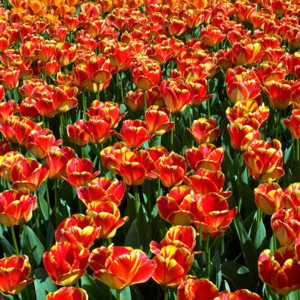 Tulipán Banja Luka - predaj cibuľovín - holandské tulipány - 3 ks