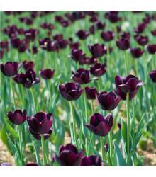 Tulipán Queen of Night - cibuľoviny z Holandska - 3 ks