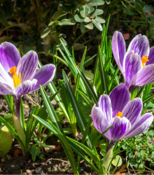 Krókus King of striped - Crocus vernus - cibuľoviny - 3 ks