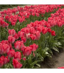 Tulipán Judith Leyster - cibuľoviny z Holandska - 3 ks