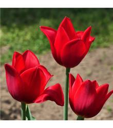 Tulipán Kingsblood - Tulipa - cibuľoviny - 3 ks