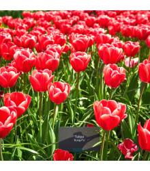 More about Tulipán Kung Fu - Tulipa - cibuľoviny - 3 ks
