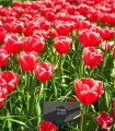 Tulipán Kung Fu cibuľky - cibuľoviny z Holandska - 3 ks