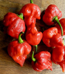 Chilli Trinidad Scorpion Butch - Capsicum Chinense - semená - 5 ks