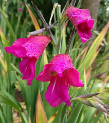 Mečík obyčajný - Gladiolus byzantinus communis - gladioly - cibuľoviny - 3 ks