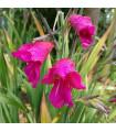 Gladiol obecný - Gladiolus byzantinus communis - 3 ks