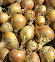Cibuľa kuchynská Sturon - Allium cepa - semená cibule - 250 ks