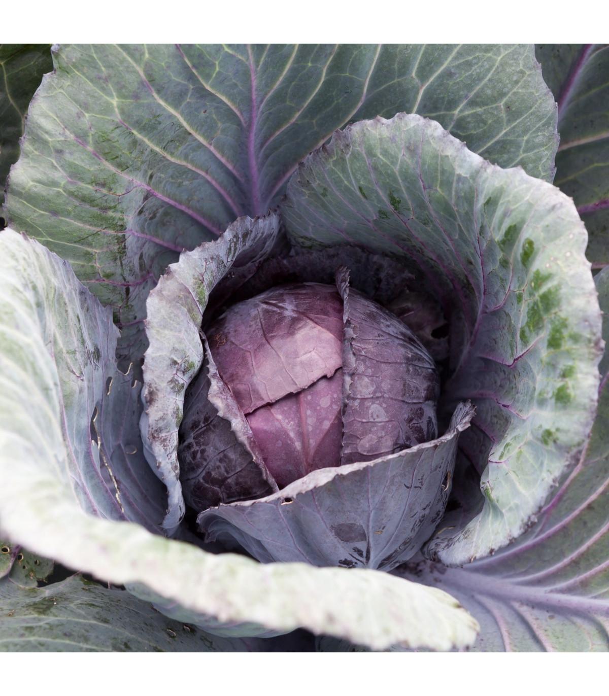 Kapusta červená Pourovo - Brassica pekinensis - predaj semien kapusty - 0,8 g