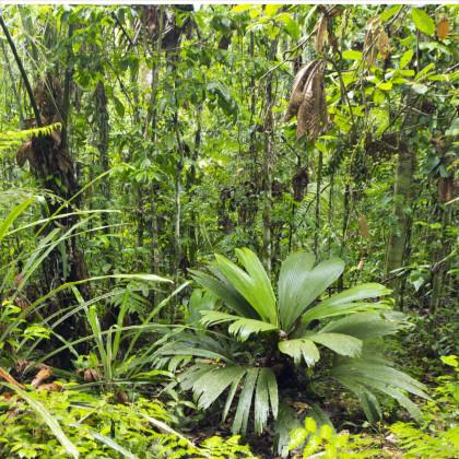Palma mexická-Geonomma Interrupta- semiačka- 5 ks