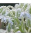 Borák lekársky biely - Borago officinalis - semená boráku - 20 ks