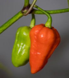 Chilli 7 Pod červené - Capsicum Chinense - semená - 6 ks