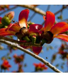 Bavlník červený - Bombax ceiba - semená - 6 ks