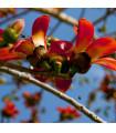 Bavlník červený - Bombax ceiba - predaj semien rastlín - 6 Ks
